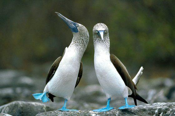 Blue-footed Booby, pair performing courtship dance, Punta Cevallos, Espanola Island, Galapagos Islands (Tui De Roy)