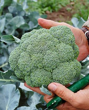 Brassicas Rule! A Fall Planting Guide | High Mowing Organic Seeds' Blog – The Seed Hopper