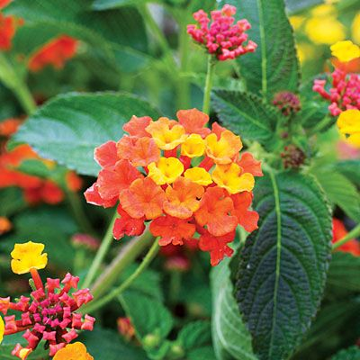 LANTANA:  drought tolerant, many colors, blooms most of the year