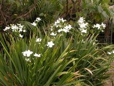 Wedding lily (Dietes robinsoniana )