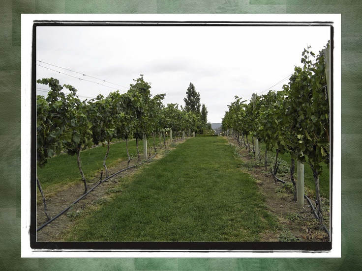 Mission Hill #Vineyard - #Kelowna, Canada