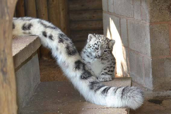 Snow leopard cub with mum's tail. Mum's tail is one of the longest of large cat's tails.