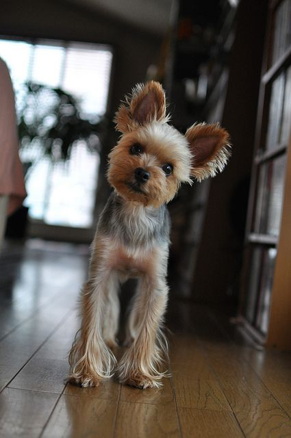 Yorkshire Terrier ~ Is this possibly a Yorkie/Chihuahua Mix? Cause' the legs seem unusually long for a pure bred Yorkie.
