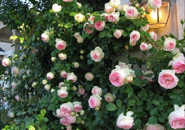 eden rose pierre de ronsard fi 39 s favourite flowers. Black Bedroom Furniture Sets. Home Design Ideas