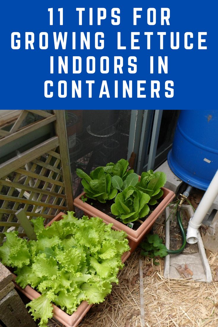 how to grow lettuce indoors from seed