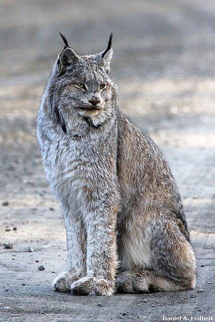 Denali National Park Wildlife | This Lynx photo taken at the Denali National Park, Alaska...