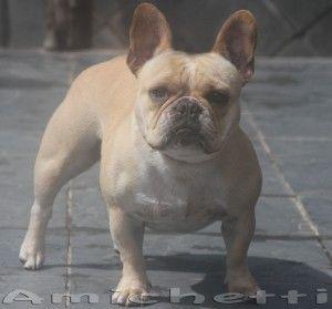 Bulldog+Frances+Criadores++Bulldog+Frances+Canil+Especializado+Petclube