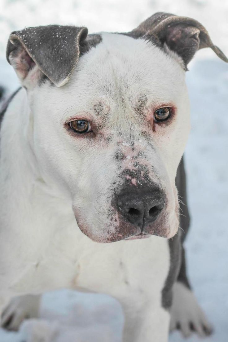 8/24/15*** I dream of a loving forever home. Please adopt me.***SENIOR*** Meet PBF Chopper, a Petfinder adoptable Pit Bull Terrier Dog | Muskegon, MI | Chooper is a sweet 11yr old senior. He needs a quiet low energy home.For information about Adoption...