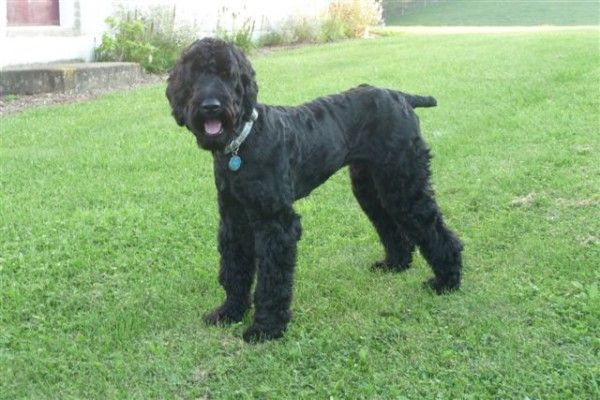 Our Dog Jacob Schnoodle Puppies For Sale Schnoodle Mini Schnoodle