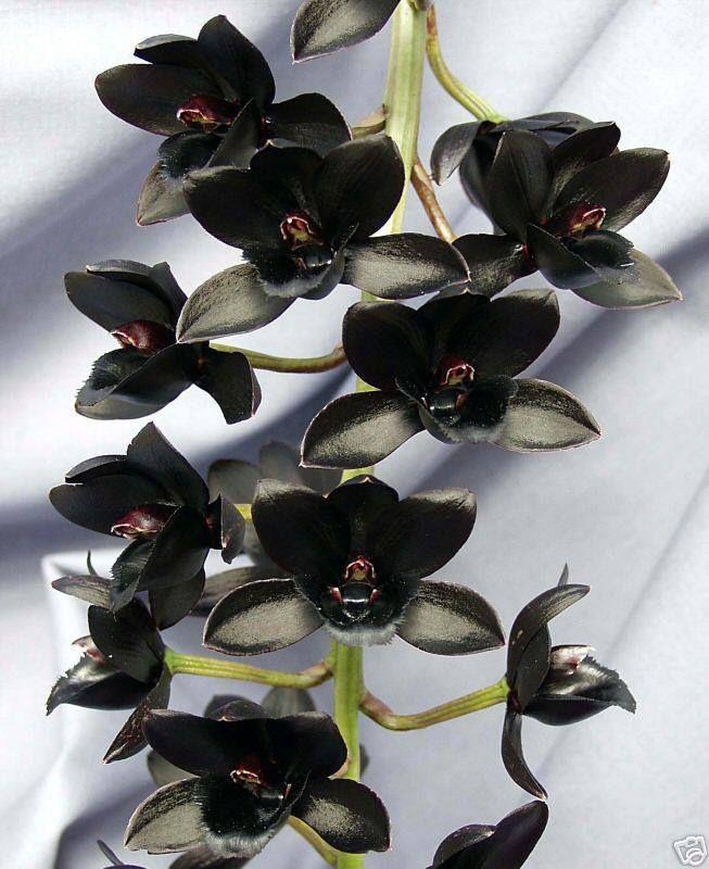 Цветы орхидеи черные купить в харькове, цветы доставкой пермь