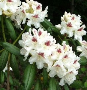 Rhododendron Peter Tigerstedt