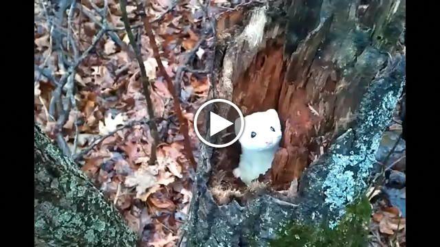 Bianco immacolato, questo giovane ermellino è nel suo aspetto invernale, proprio il più adatto per i pregiatissimi colli di pelliccia indossati da...