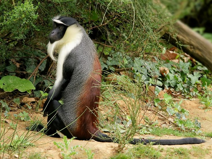 Roloway monkey (Cercopithecus diana roloway) (source