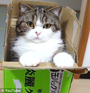Maru, the ever-mischievous moggy, appears in the latest online video poking his head through shopping bags, diving into boxes and cartwheeling behind a sliding door.