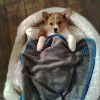 Skippy's ready for naptime!: Nap Time, Baby Corgi, Corgis Dogs, Corgi Napping, Corgi Awwww, Pembroke Corgis, Skippy S Ready, Corgi Animals, Naptime