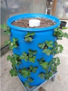 55 Gallon Drum set up to grow strawberry plants