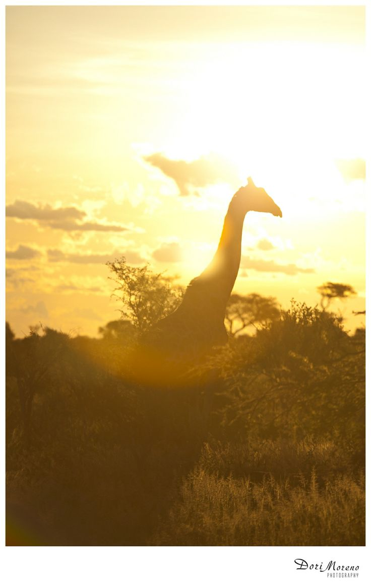 A giraffe at sunset, Botswana