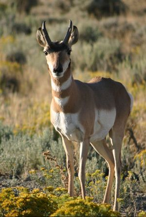 A Wyoming pronghorn, one of the animals affected by fracking near national park land. Photo © Angela Cable/iStockphoto.Fantasy Animal, Parks Conservative, Parks Advocate, Parks Boundary, Npca Parks, Npcas Parks, National Parks, Fracking, Parks Wildlife