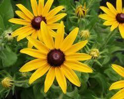 Emblème floral de Kinnear's Mills la rudbeckia indian summer