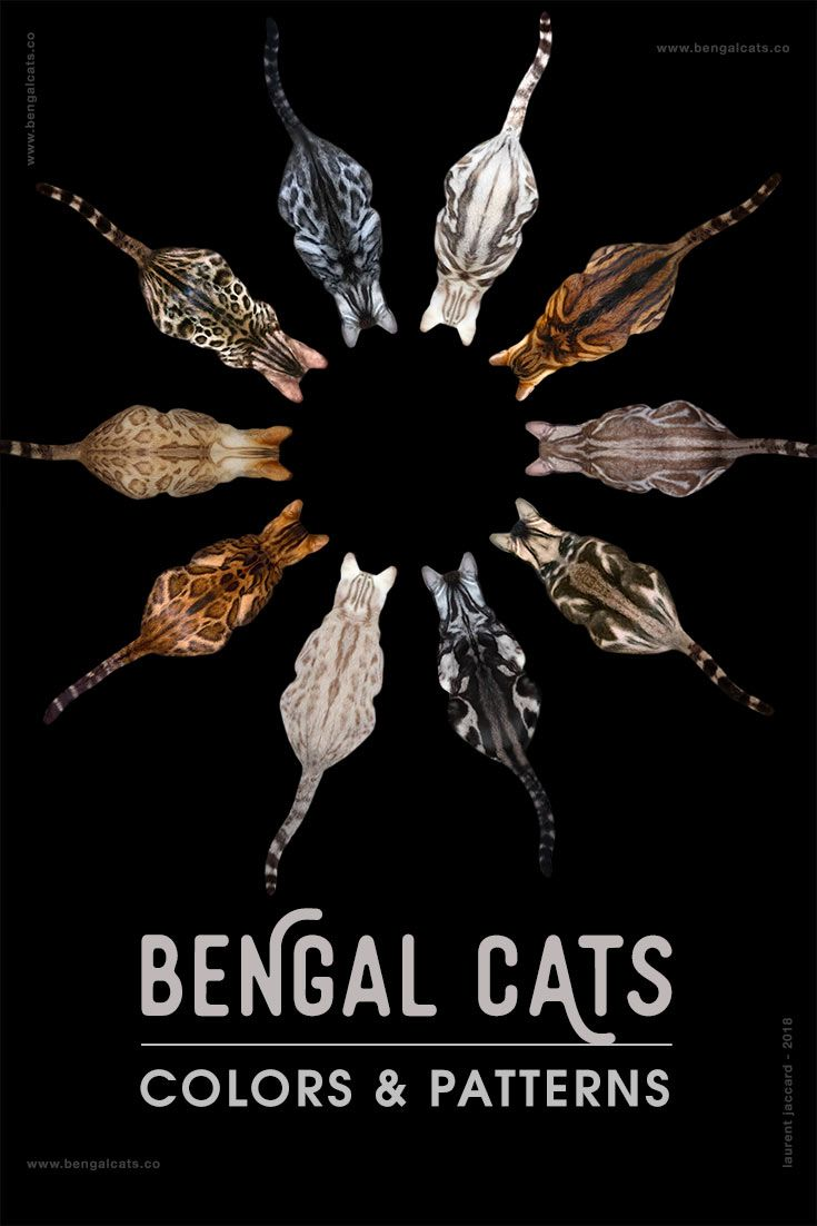 A Visual Guide to Bengal Cat Colors & Patterns [INFOGRAPHIC] via @BengalCats