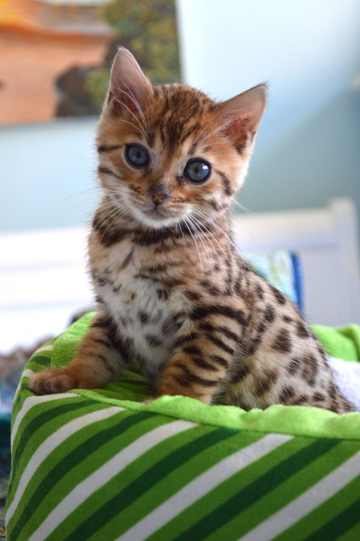We lost our beloved Marbles the Bengal Cat last March and our family was finally ready to bring a new kitten into our home.