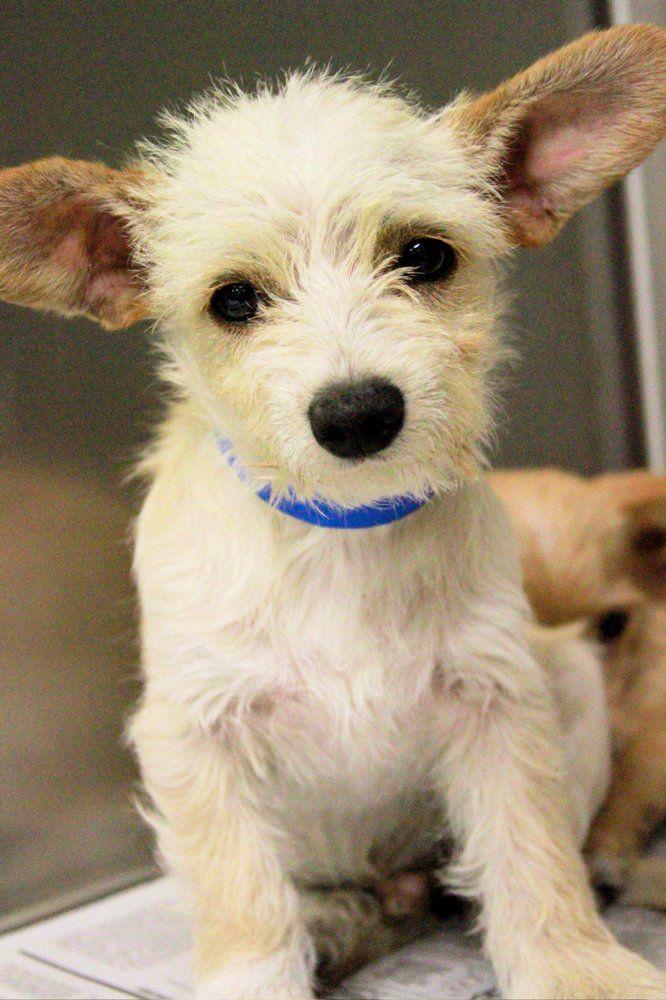 Http Dogtime Com Dog Breeds West Highland White Terrier