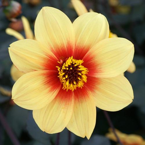 906 best dahlias images on pinterest