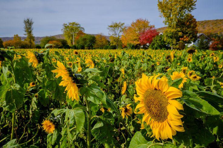 Sunflowers | pierretrowbridge.com