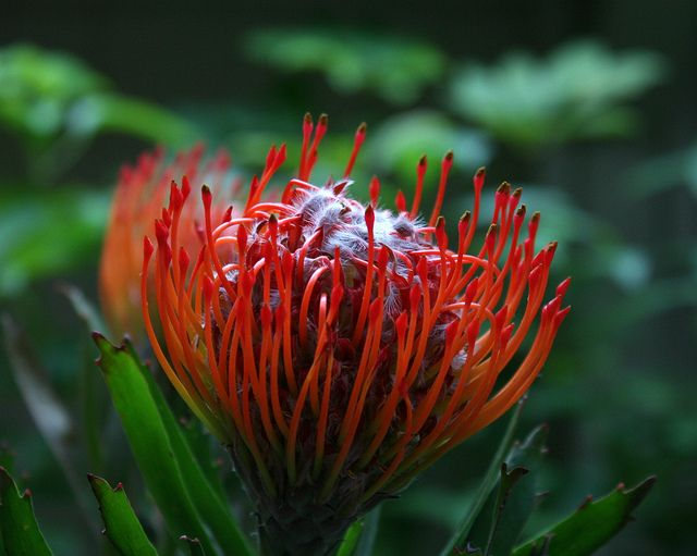 protea pincushion