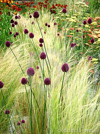 Grasses, allium, yarrow, planting combinations, gardening, landscaping, ornamental grasses