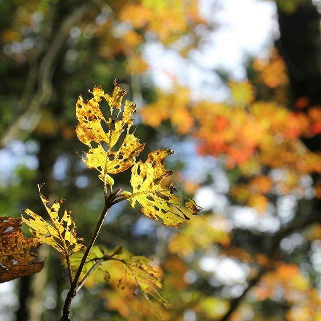 【haiirototoro】さんのInstagramをピンしています。 《〜おととしの寒露のころに 奈良県のどこかで〜 虫くいの葉っぱも きれいかも  もうすぐ 大台ヶ原の紅葉もみごろですね  #オオカメノキ #ムシカリ #Viburnumfurcatum #葉っぱ #葉 #leaves #大台ヶ原 #大台ケ原 #oodaigahara #紅葉 #黄葉 #autumnleaves #fallcolors #autumncolors #fallleaves #秋晴れ #森 #forest #naturelovers #natureshots  #秋 #autumn #奈良 #nara #japan》