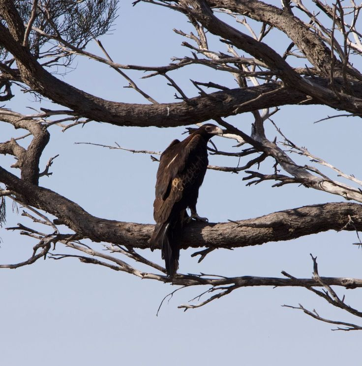 Eagle on The Nullarbor Hwy to Perth
