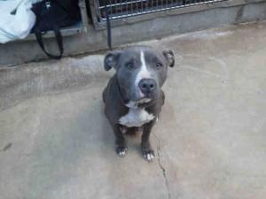 CASSIDY is an adoptable Pit Bull Terrier Dog in Macon, GA. ... look at that sweet face