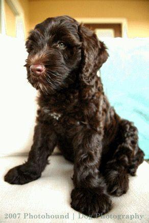 http://www.labradoodle-breeder.com/labradoodle/AustralianLabradoodlePuppyDogs.jpg için Google Görsel Sonuçları