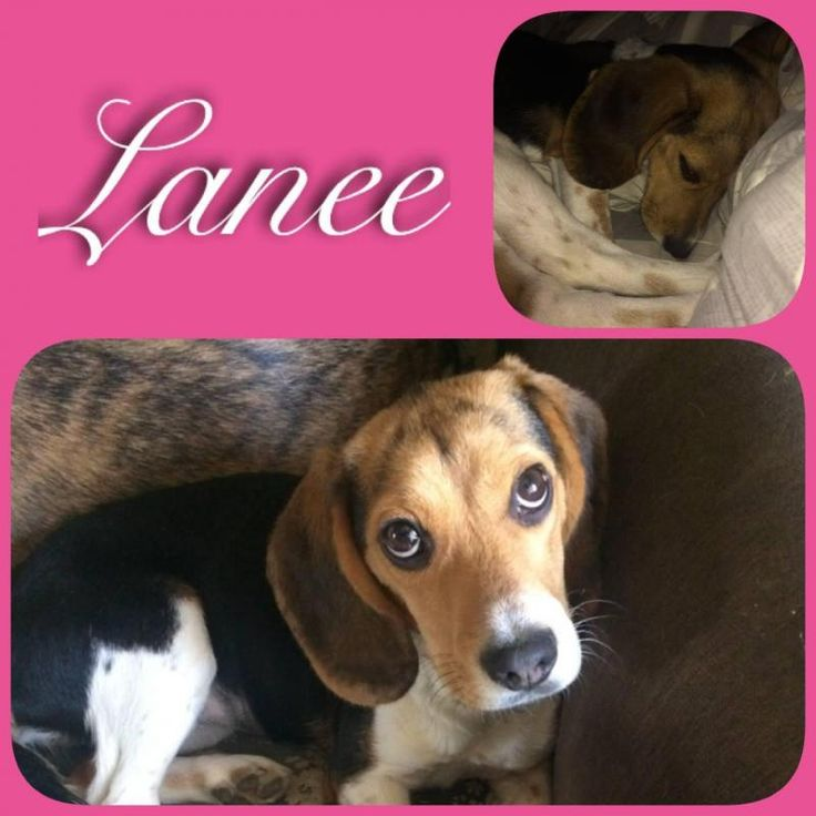 Lanee is an adoptable Beagle searching for a forever family near Washington, MO. Use Petfinder to find adoptable pets in your area.