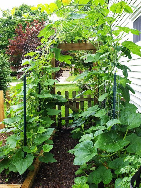 Vertical squash growing