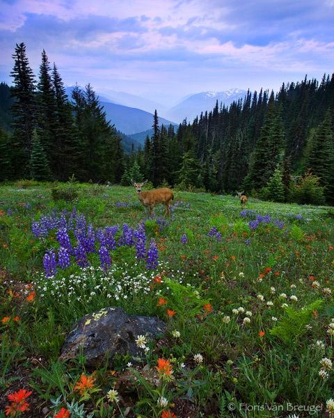 Common sight in the summer, wildflowers & deer! Hurricane Ridge, Washington State