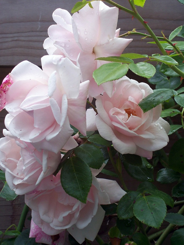 Rosa New Dawn Doorgroeiend geschikt voor het noorden, juni-okt, zon/halfschaduw, geurend