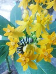 FREE milkweed seeds to start a butterfly garden and help provide a habitat for monarch butterflies. Also get Lifecycle Story of a Monarch Butterfly for FREE!