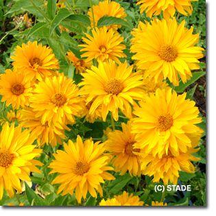 Staudenfoto zu Heliopsis helianthoides var.scabra 'Spitzentänzerin' (Garten-Sonnenauge) - Achtung, verbreitet sich gerne