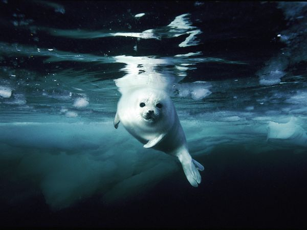 Harp Seal, Canada  Photograph by Brian J. Skerry, National Geographic    A juvenile harp seal, or whitecoat, swims in the Gulf of St. Lawrence.
