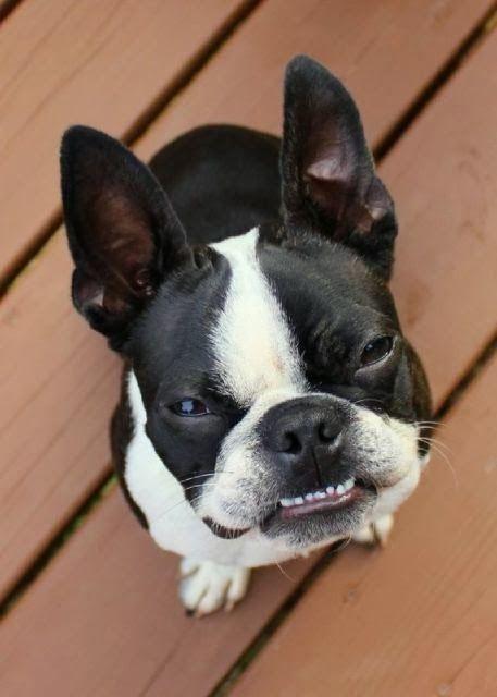 Boston terrier Quiero uno! jijiji