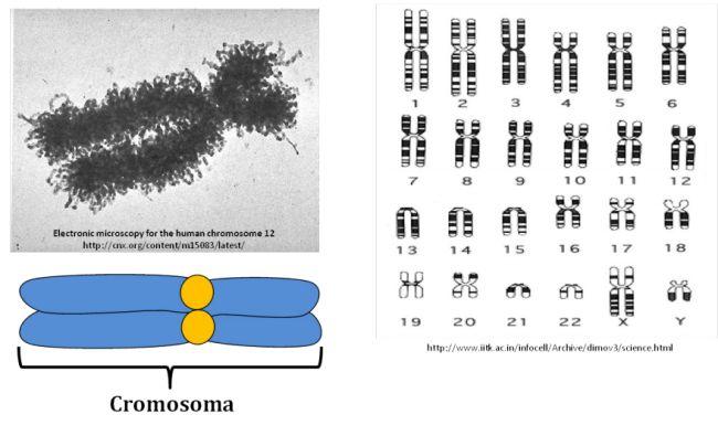Cromosoma a MEB