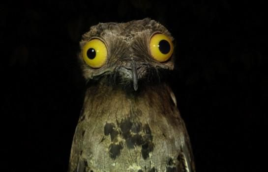 The Potoo. A nocturnal bird who camouflages as a tree stump and looks wonky as fuck.