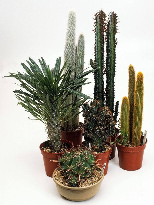 17 best ideas about cactus types on pinterest types of succulents indoor succulents and list - Best indoor succulents ...