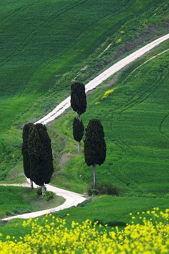 Tuscani…these trees look like dark chocolate popsicles….
