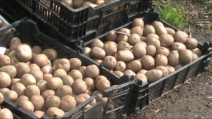 """Инновационное удобрение """"4К""""- увеличение урожайности на 50%"""