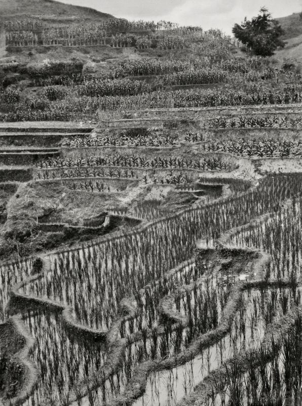 E.O. Hoppé Ricefields, Tampaksiring, Bali, 1930