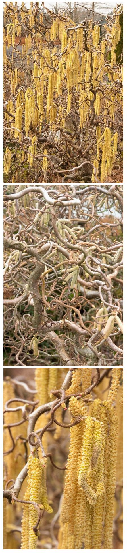Harry lauder walking stick trees - Harry Lauder S Walking Stick Corylus Avellana Contorta The Twisted Form Of