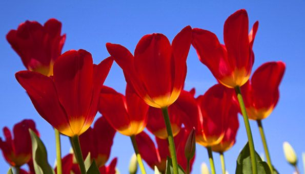 Tulpen schneiden: Die richtige Tulpen-Pflege für kräftige Zwiebeln